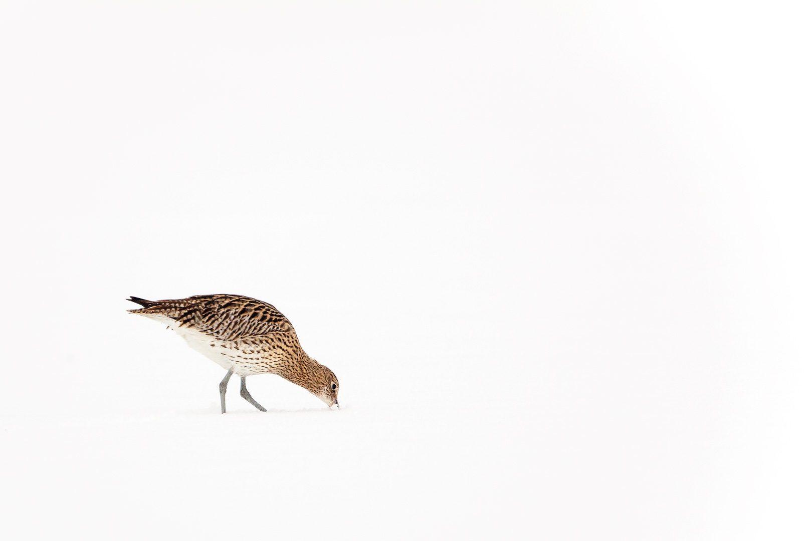 Een Wulp zoekend naar voedsel in de sneeuw