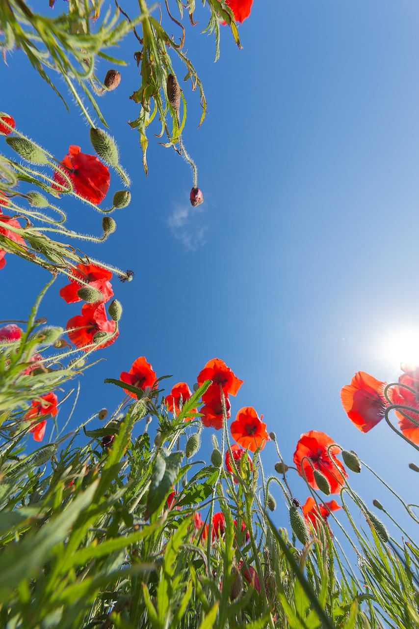 Foto-klaprozen-zomer-zon