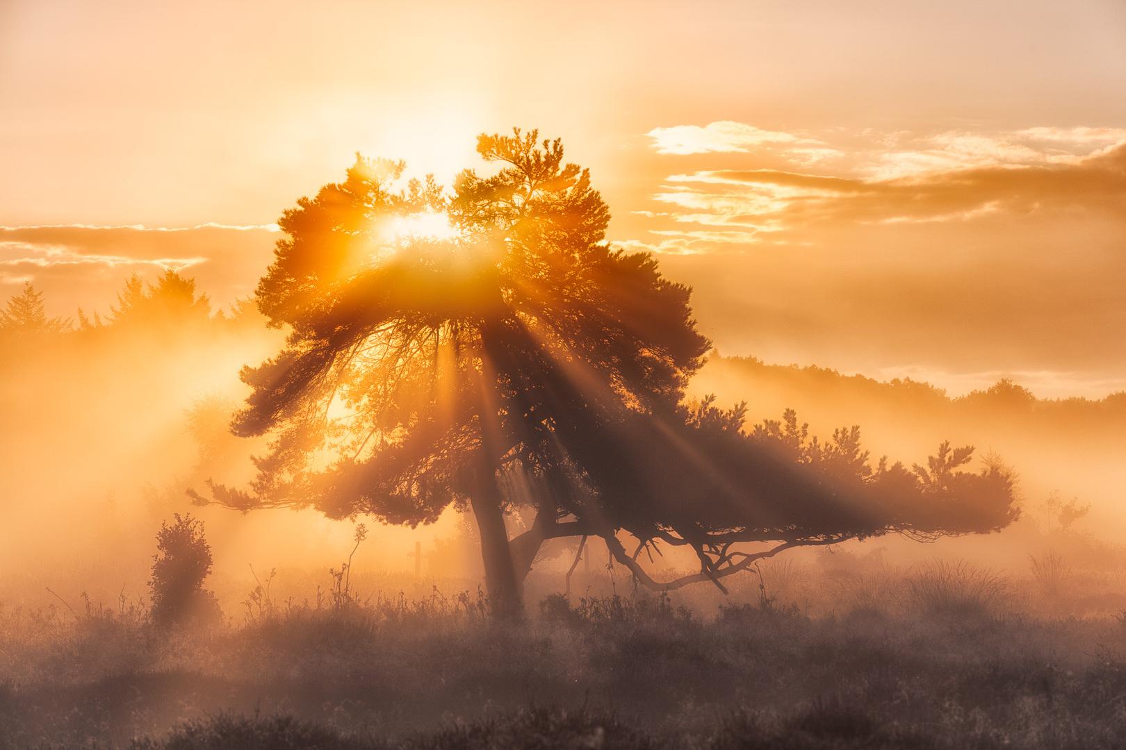 foto apparatuur - Een oude dennenboom in een heideveld bij Oudemolen in Drenthe tijdens een prachtige zonsopkomst