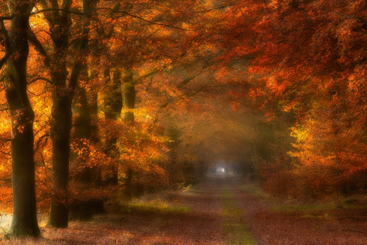 Herfst in het bos bij Gasselte met warm licht dat door de beukenlaan valt en voor mooie herfstkleuren zorgt