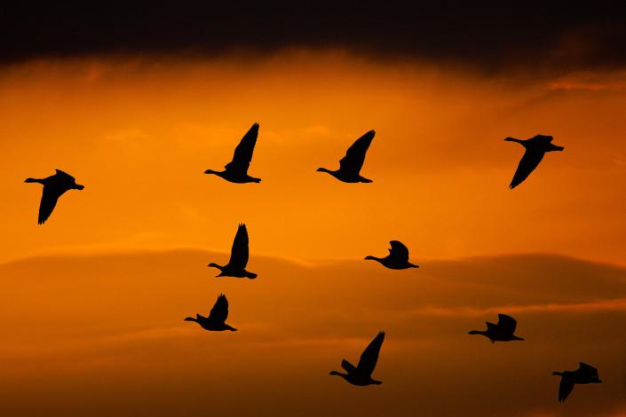 Ganzen vliegen voorbij tegen een avondrode lucht met donkere wolken
