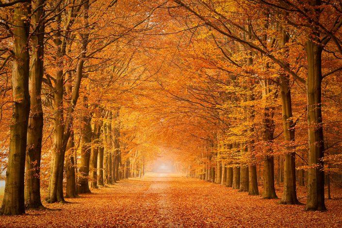 Heeft in de boven in Drenthe bij Gasselte met een beukenlaan in prachtige herfstkleuren