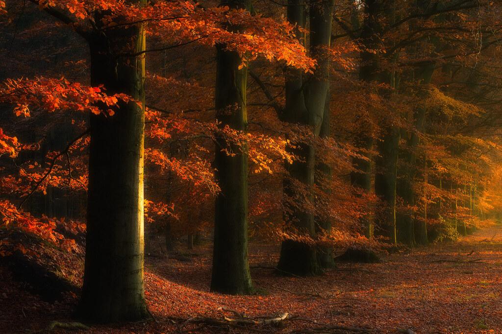 Herfst in de bossen bij Gasselte met mooi licht dat door de beuken valt