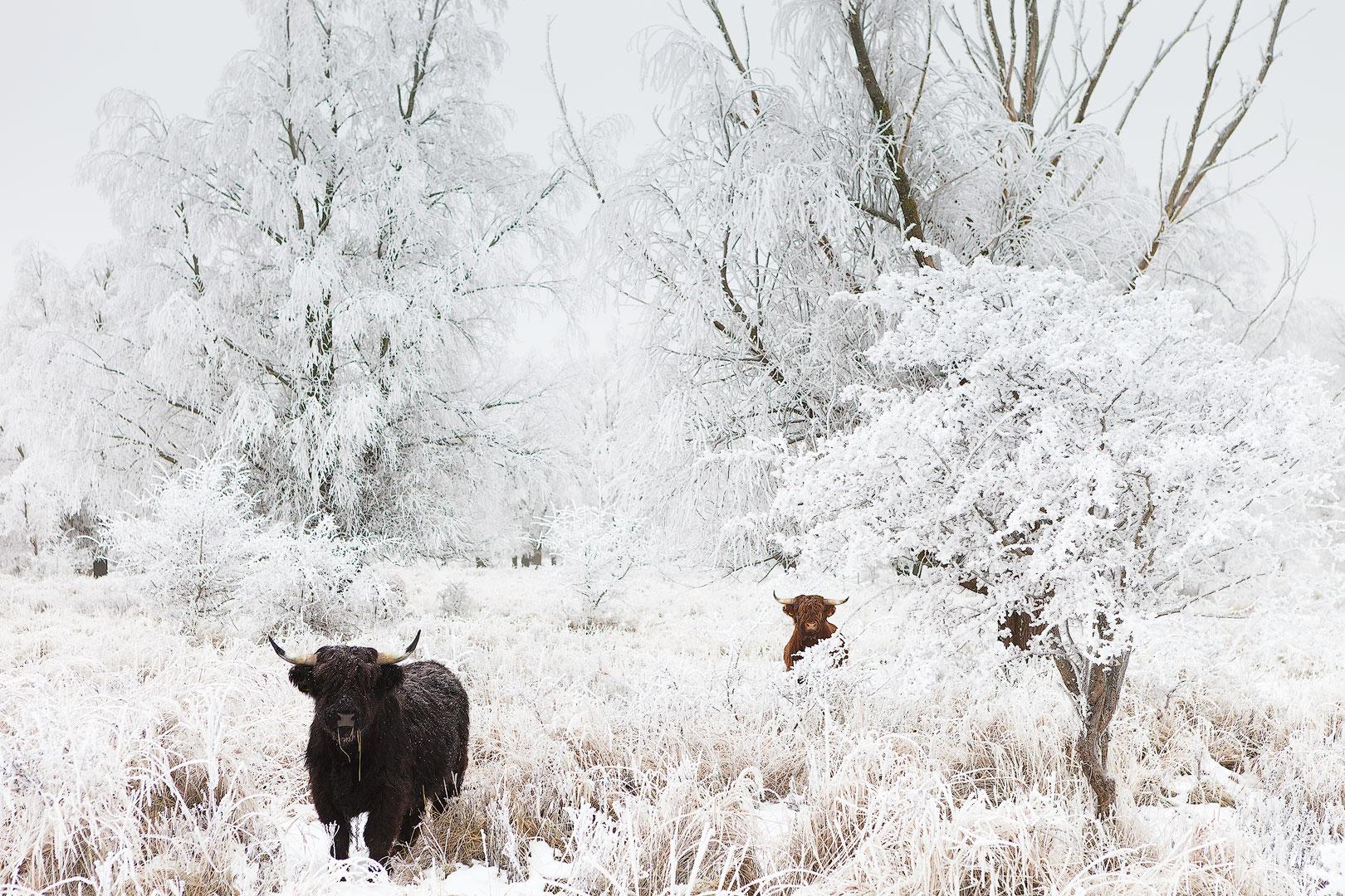 Foto apparatuur - Schotse hooglanders in een met sneeuw bedenkt landschap in het Nationaal Park Lauwersmeer