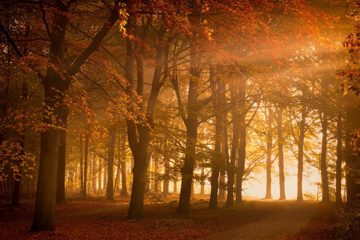 Rays of sunlight shine through a dens and lush forest with fog in Autumn.