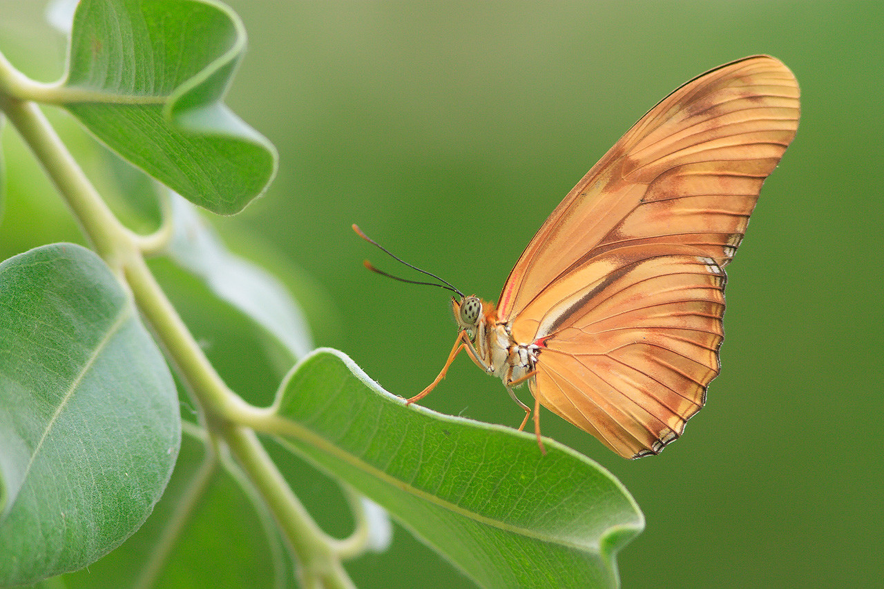 Oranje Passiebloemvlinder (Dryas Julia) - Bas Meelker Photography