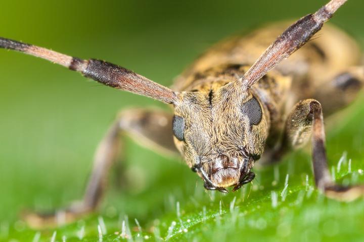 Boktor (Cerambycidae) - longhorned beetle