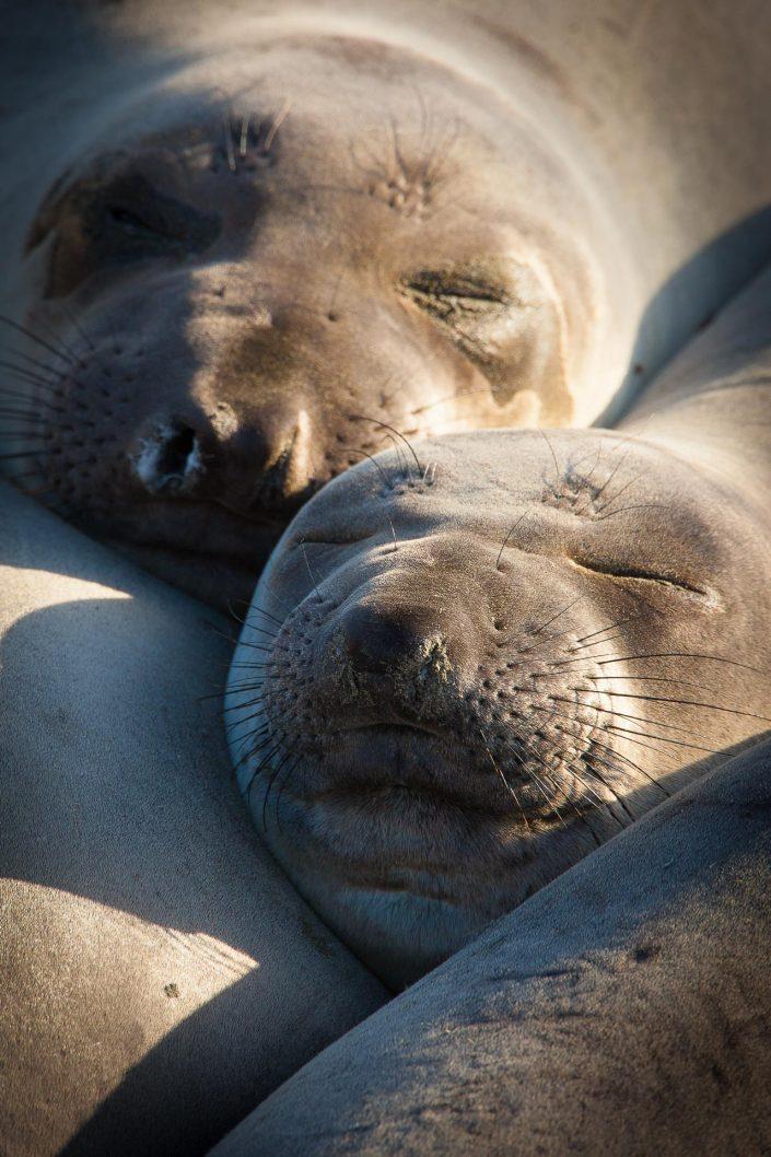 Northern Elephant Seal (M. angustirostris) - Noordelijke Zeeolifant