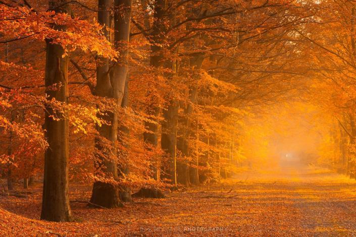Herfst in volle kleuren in het bos met een mistige sfeer en prachtige herfstkleuren. Een oude weg naast de beuken geeft diepte aan de foto .