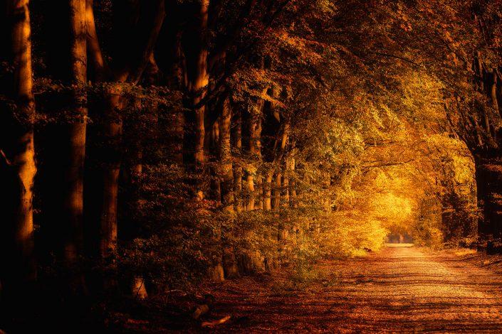 Warme herfstkleuren kleuren de beuken langs een oude landweg in de bossen in Drenthe op een mooie november namiddag - Boswachterij Gieten