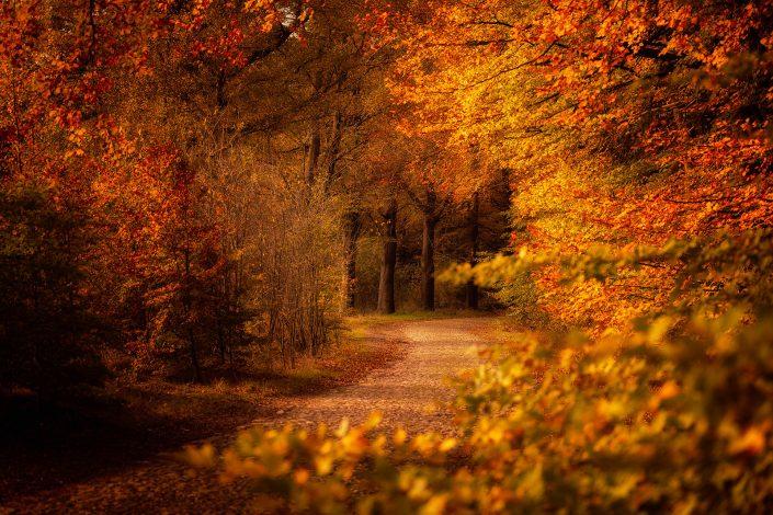 Warme herfstkleuren kleuren de beuken langs een oude landweg in de bossen in Drenthe op een mooie november namiddag.
