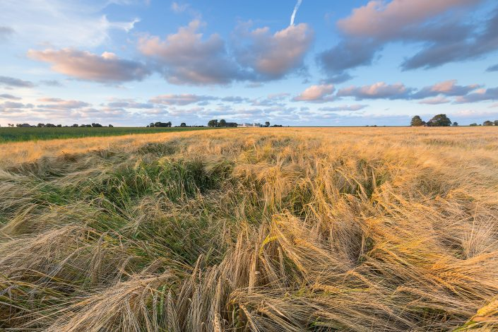 Graanvelden in het Hogeland in groningen bij Eenrum. De avondzon geeft het landschap een warme gloed in de zomer.