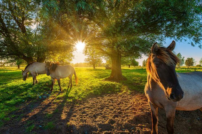 Lauwersmeer Nationaal park - Konikpaarden grazen op een mooie zomer avond in warm licht in Groningen