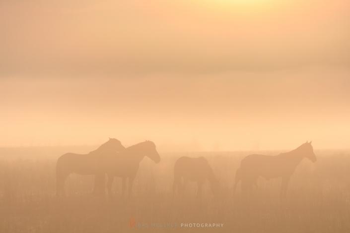 Konikpaarden in de mist op een mooie mistige lente ochtend in het nationaal park Lauwersmeer - Landschapsfoto