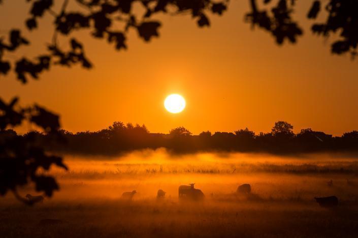 Schapen in een mistig weiland tijdens zonsopkomst