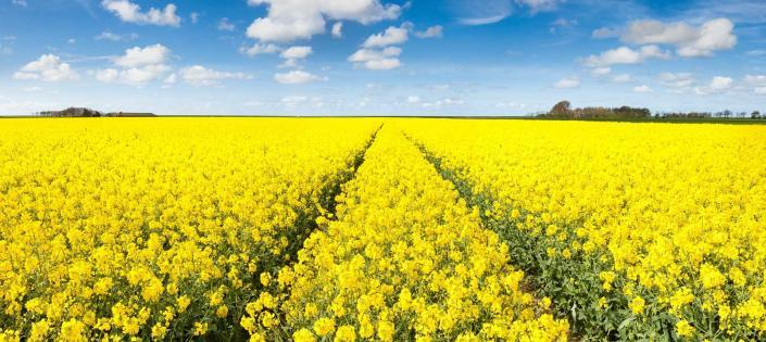 Sea of yellow - Nothern Groningen, The Netherlands