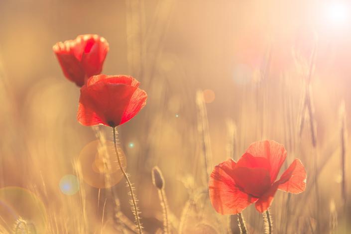 Klaprozen in een bloemenveld in het avondlicht met warm kleuren