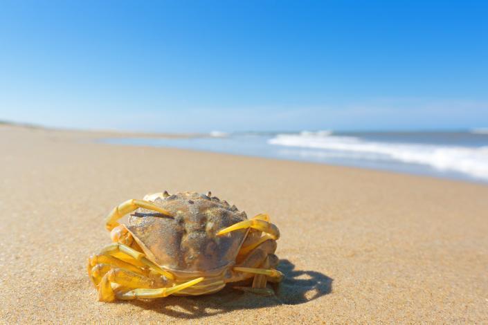 Twee parende krabben op het strand van Texel