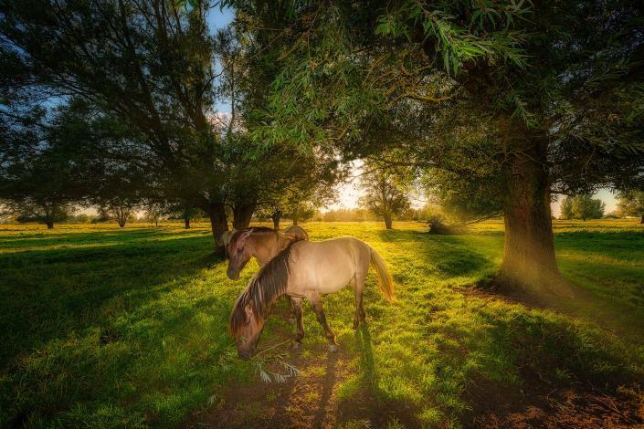Konikpaarden grazen in het Lauwersmeer Nationaal park in Groningen