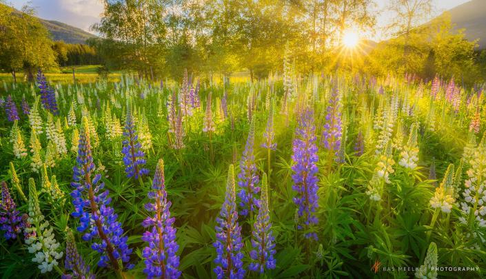 A field of colourful lupines flowers in bright and warm evening sunlight - Norway