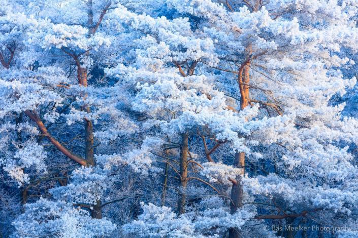foto van Rijp op de bomen bij Oude Molen, Drenthe, Nederland