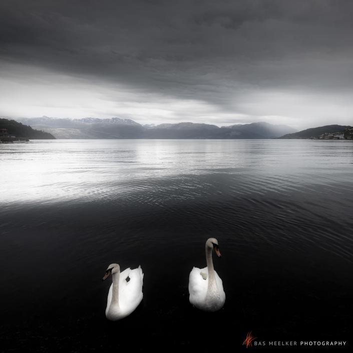 Graceful swans on a lake on a zen-like morning in black and white with mountains in the background - Norway