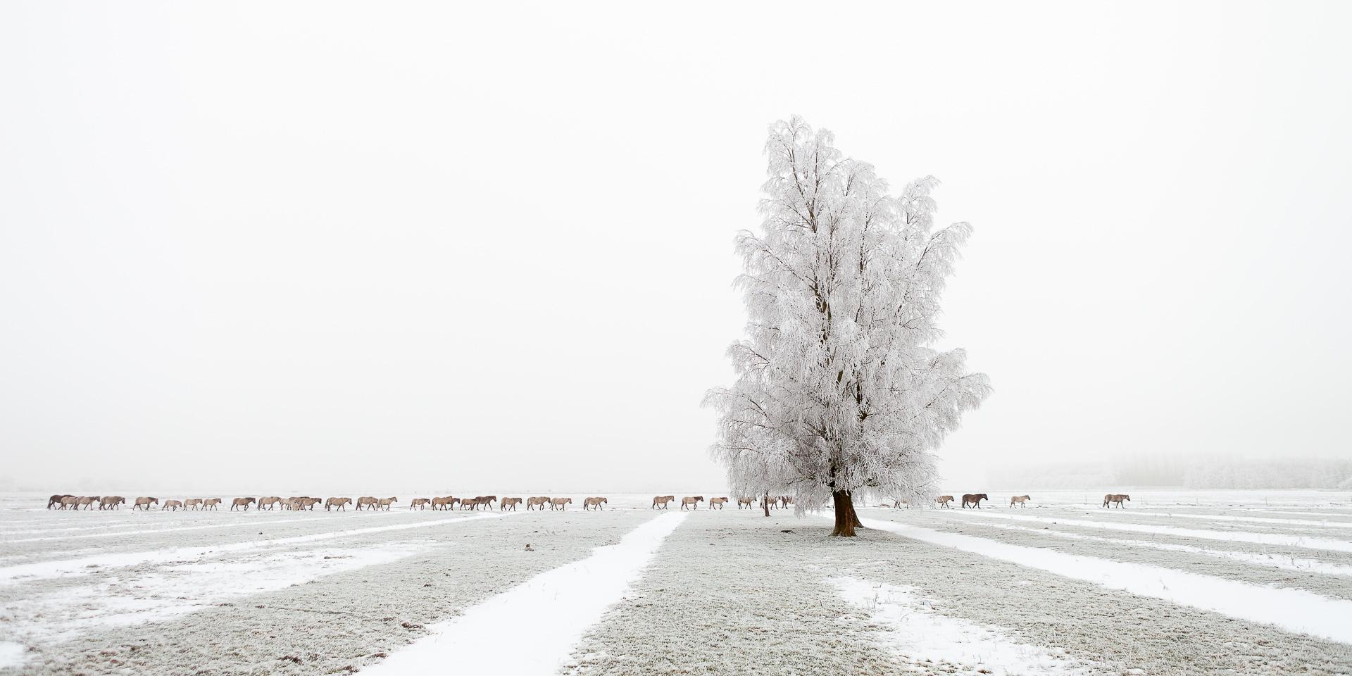 landschapsfoto van Konikpaarden in een winter landschap in het Nationaal park Lauwersmeer