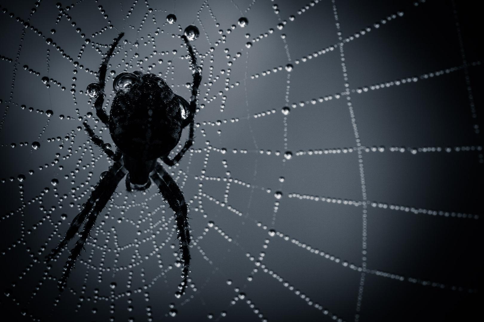 Mooiere herfstfoto's - Een spin in een donker web met dauwdruppels in de ochtend.