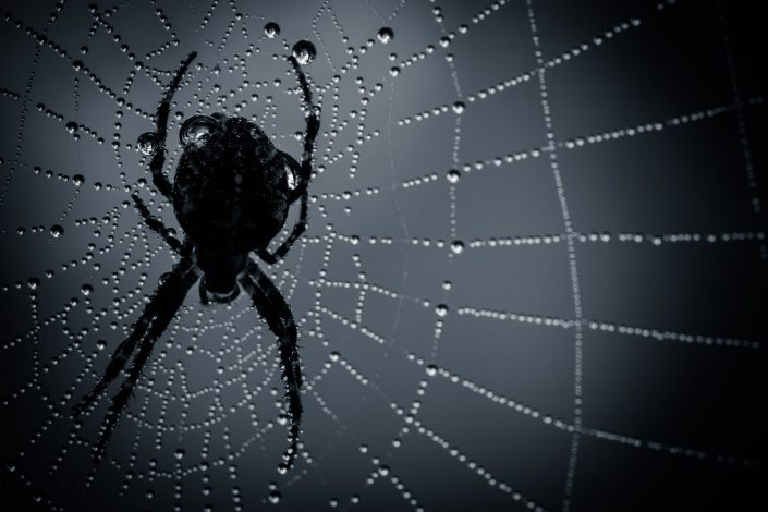 Een spin in een donker web met dauwdruppels in de ochtend.