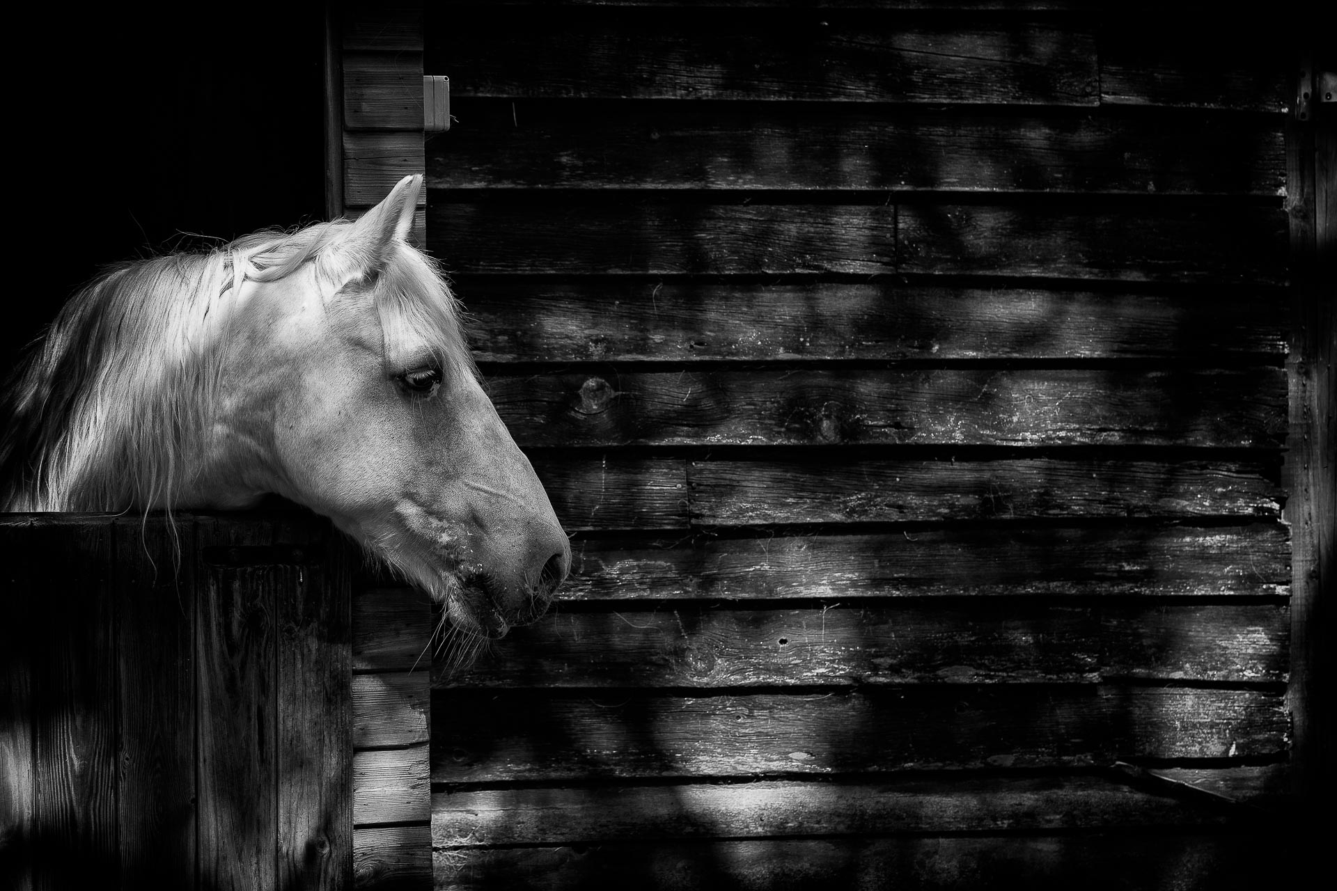 Beautiful horse in a stable in black and white