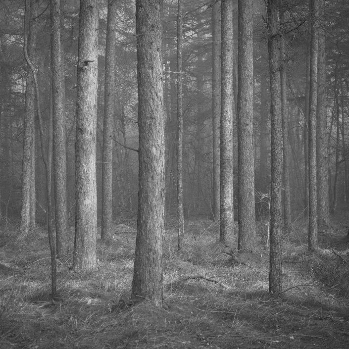 Zwart wit opname van een dennenbos in Drenthe