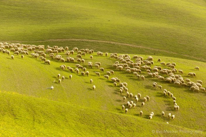 Tuscan Landscape in summer with sheep in the hills