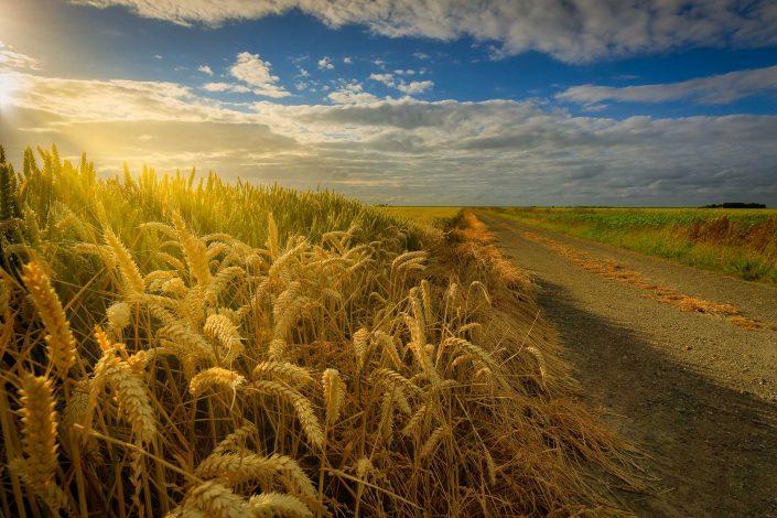 Graanvelden Groningen - een mooi zomer landschap in Groningen met graanvelden en warm licht en een oude landweg