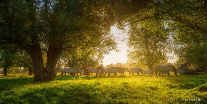 Konik horses grazing in nature in summer with bright evening sunlight on a green pasture with trees - Lauwersmeer, The Netherlands