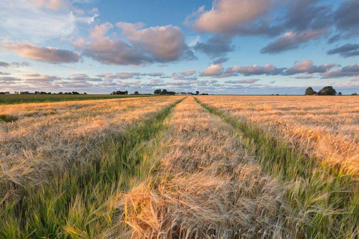 Avondlicht over de graanvelden in het Hoge Land van Groningen