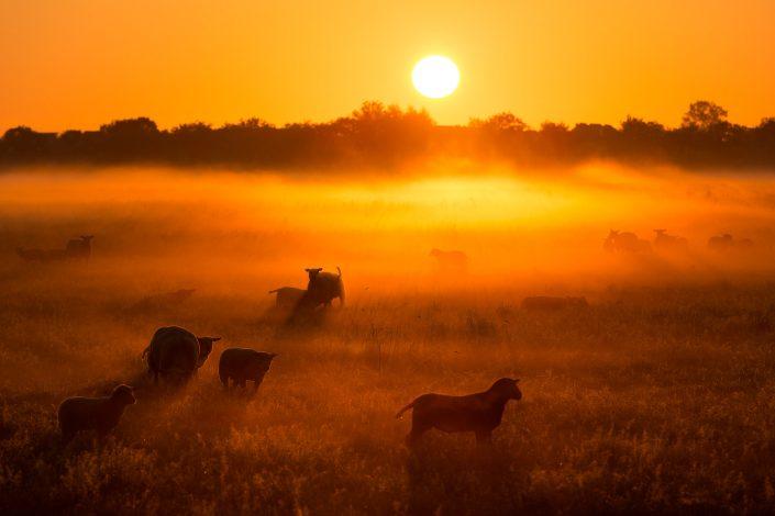 Een mistige zonsopkomst met schapen in de wei in Groningen