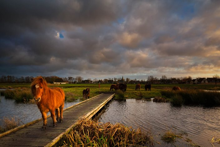 Een shetland pony in het De Alde Feanen nationaal park in Friesland