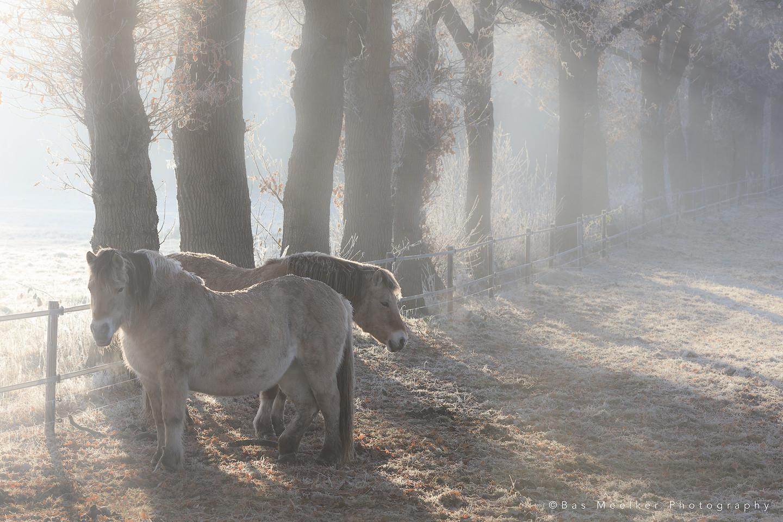 Paarden in de ochtendmist in de winter in Drenthe