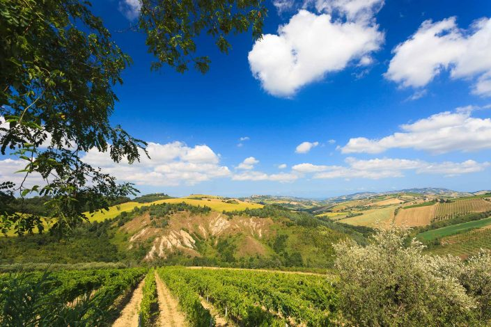 A classic vineyard view in Le Marche
