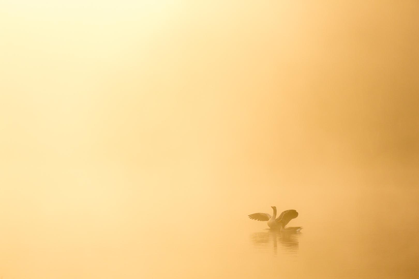 Ochtendmist boven de Makkummerplas bij Weister met twee grauwe ganzen.