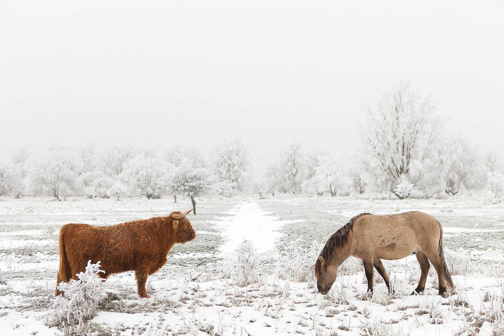 Een konikpaard en een schotse hooglander in een winters landschap