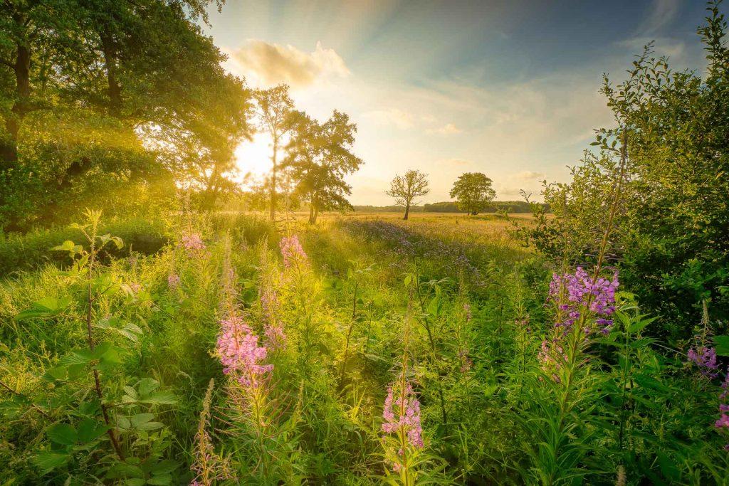 zomer landschap - Een mooie zomer weide in Drenthe met warm zonlicht en kleurrijke bloemen